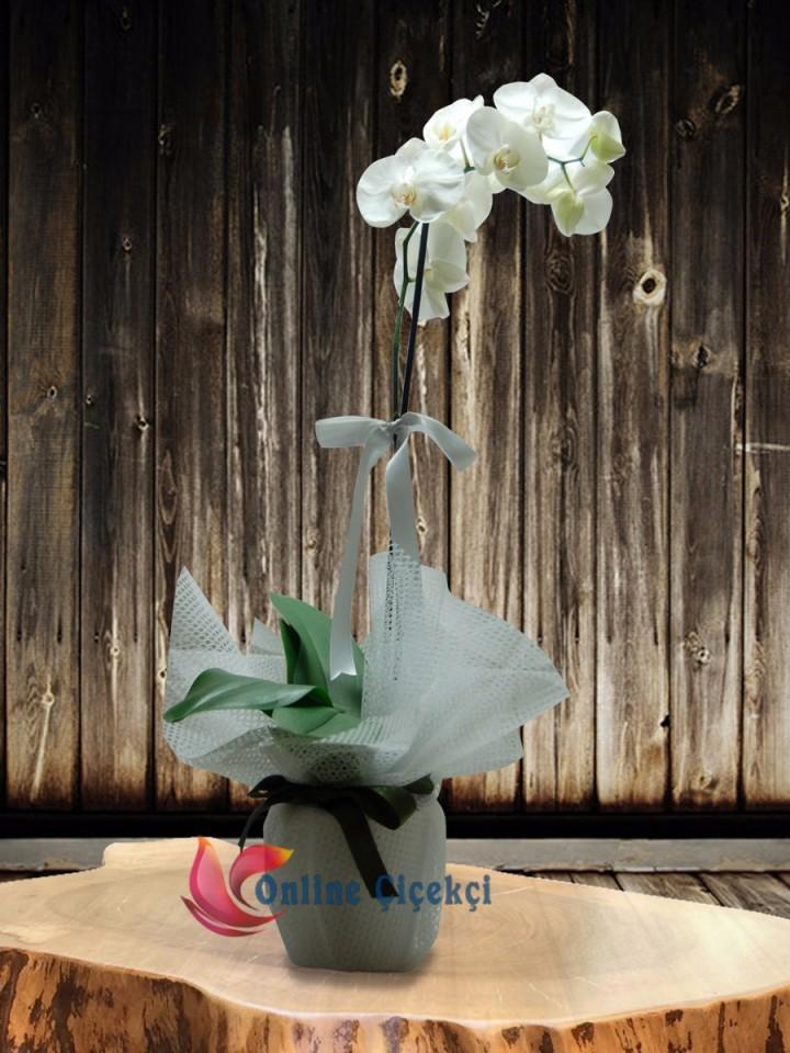 Tek Dal Phalaenopsis Orkide