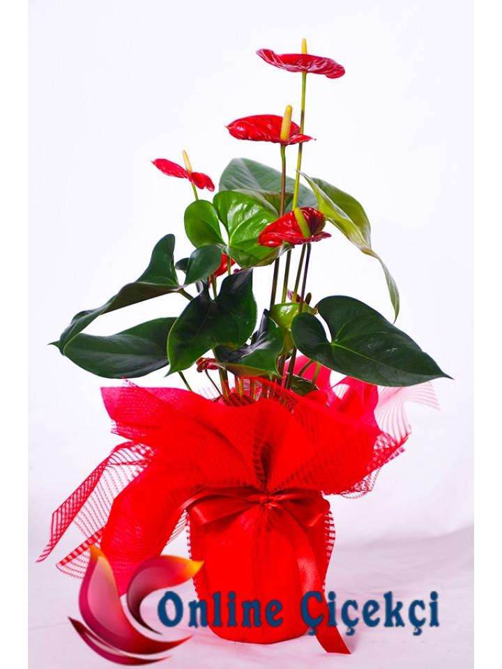 Saksı Çiçeği Anthorium