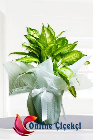 Kamilya Saksı Çiçeği